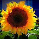 From the Wire | Shop and Share for Sunflowers