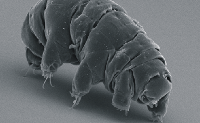 SEM image of Milnesium tardigradum in active state - journal.pone.0045682.g001-2CC BY 2.5 Schokraie E, Warnken U, Hotz-Wagenblatt A, Grohme MA, Hengherr S, et al. (2012)